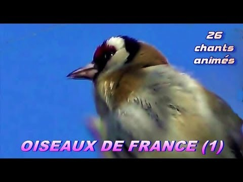 Chants d 39 oiseaux de france 28 chants youtube - Chant fauvette des jardins ...