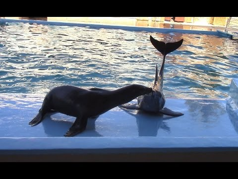 Sea Lion & Rough-toothed Dolphin Show at Gulf World Marine Park (2/1/17)