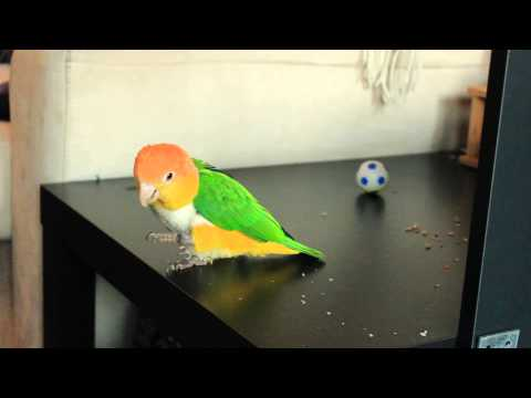 Caique learning colors vol1: Red and Blue