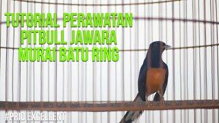 Prio Excellent Vlog#18 Tutorial Perawatan Pitbul Jawara Murai Batu Ring