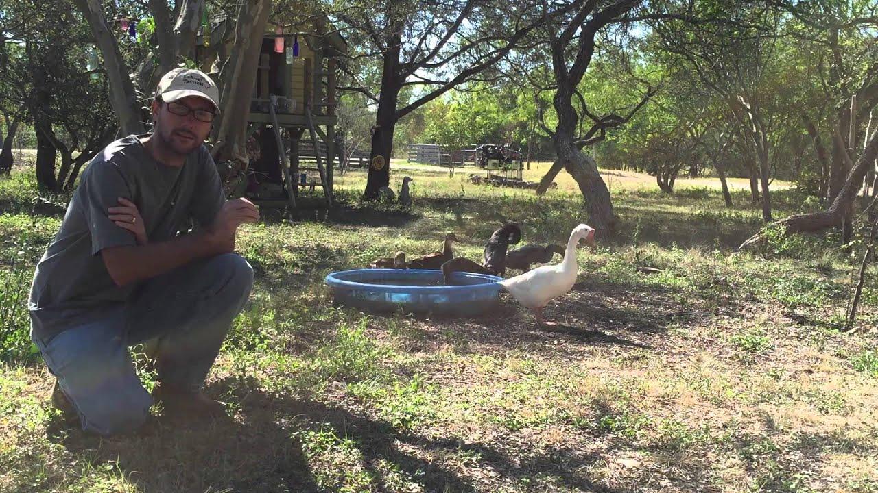 5 Reasons To Want Ducks - Daddykirbs Farm