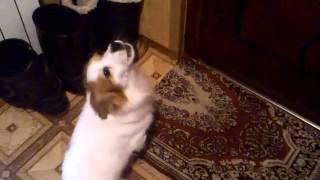 Мой щенок поет под мелодию звонка :D