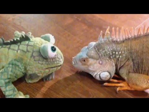 Iguanas Are Honestly Terrifying