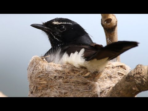 Wonderful Willie Wagtails – From Eggs To Fledglings