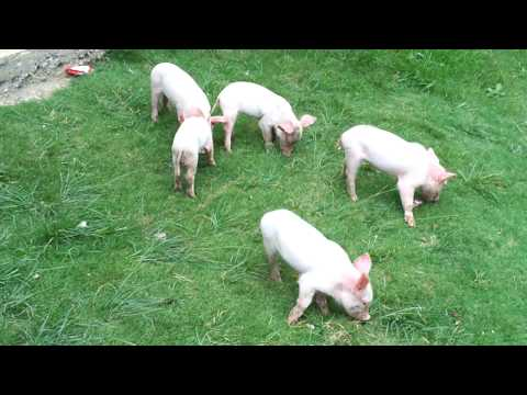 Piglets near Fort San Andres, Romblon
