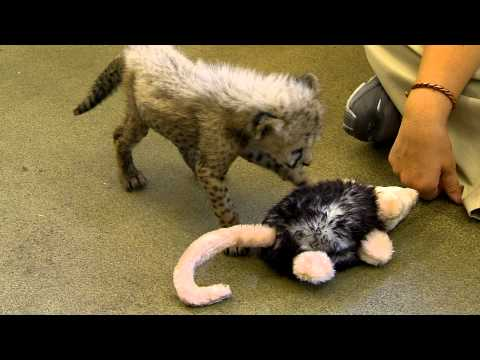 Cheetah Cub Playing in Nursery - Cincinnati Zoo