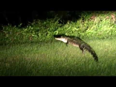 Florida man - Gator Encounter