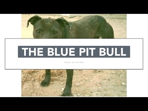 THE BLUE PIT BULL IS NOT A MYTH!!!