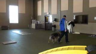 Bella (german Shepherd Dog) - Boot Camp Dog Training Video