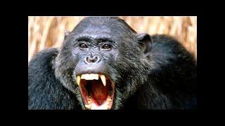 Обезьяны в джунглях. Человекообразные обезьяны. Нападения на людей. Документальный фильм.