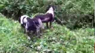 English Springer Spaniels Poppy And Daisy Water Fun