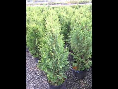 Video of Our Beautiful Screening Plants    Large Skip Laurels