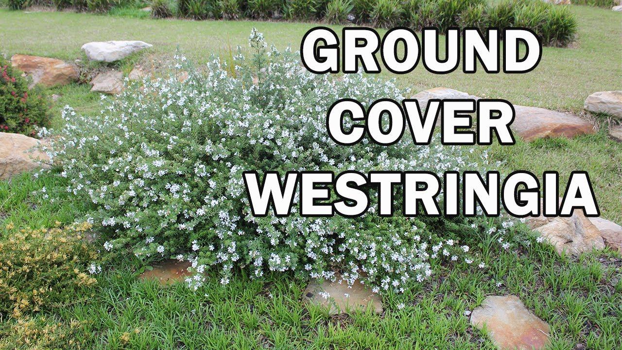 Mundi Westringia Is A Dense Ground Cover Shrub With White Flowers You