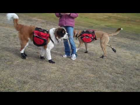 Phoebe and Warner's First Day in RUFFWEAR Dog Booties