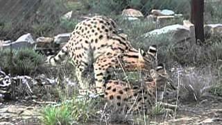 Serval-Paarung - Leptailurus serval
