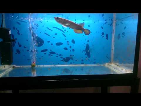 Pearl Arowana Feeding Attack Fish Food
