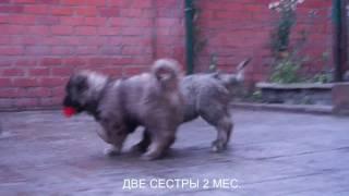 Щенки кавказской овчарки, суки. www.r-risk.ru +7 9262205603 Татьяна Ягодкина