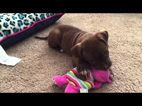 6 Week Old Pitbull Puppy