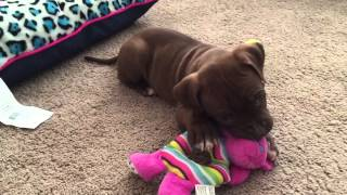 6 Week Old Pitbull Puppy