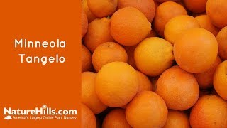 Minneola Tangelo | Naturehills.com