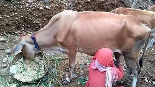 How is milk taken from cow,