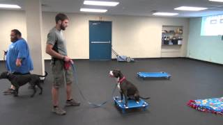 Shelly's Progress After Week 3 Of Dog Aggression Rehabilitation | K9 Connection | Buffalo, Ny