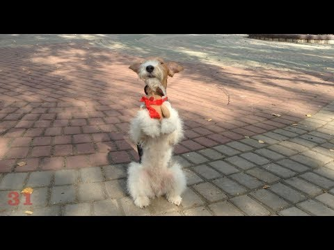 50 / Clever fox terrier Taffy/50 amazing dog tricks