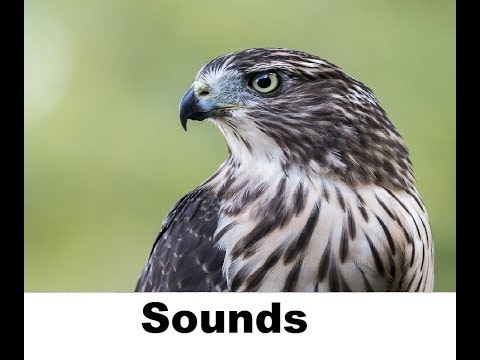 Hawk Sound Effects All Sounds