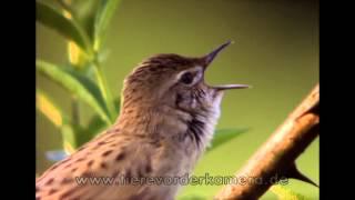 Feldschwirl singend