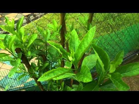 Pokok Bismillah / Ketum Cina / Bitter Leaf