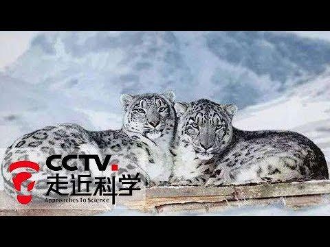 《走近科学》中国雪豹大调查 迷惑·阿拉善 20171227 | CCTV走近科学官方频道