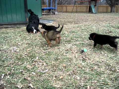 Bernese Mountain Dog playing with German Shepherd pups