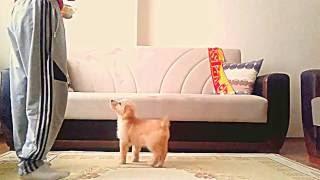 2,5 Aylık Yavru Golden Retriever Köpeğimizin Temel