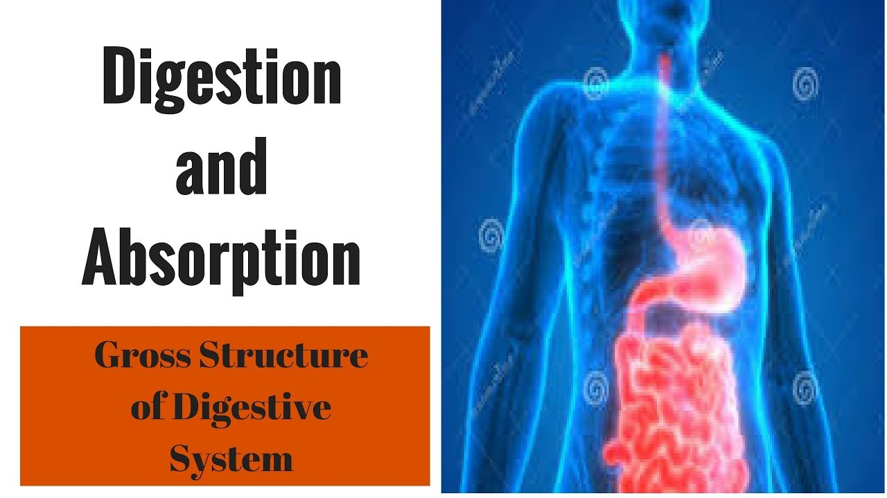 Digestion And Absorption Gross Structure Of Digestive System Youtube