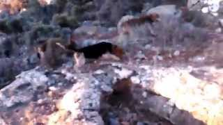 17-6-14 red & bluetick beagles tracking hares on dry weather crete-greece
