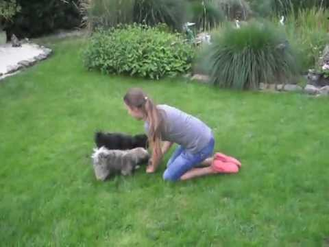 Maxi übt Tricks mit Bolonka Zwetna vom Zippenpfiff
