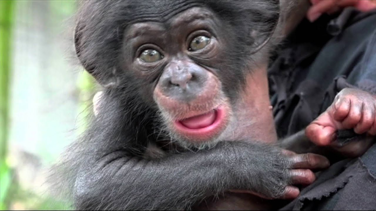 Rejected Baby Chimpanzee Keeva Travels Hundreds Of Miles To