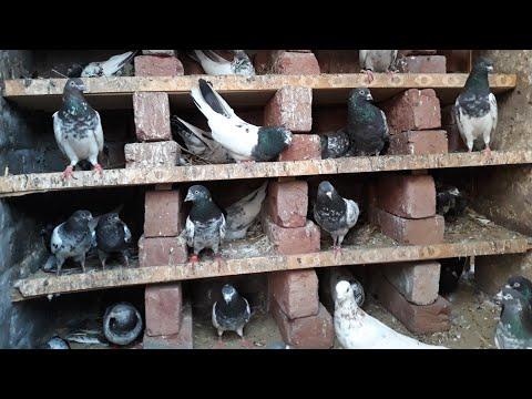 Best High Flying Pigeons 2019 - Quality Pigeons