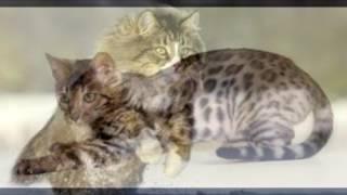 домашнее животное, млекопитающее семейства кошачьих отряда хищных.
