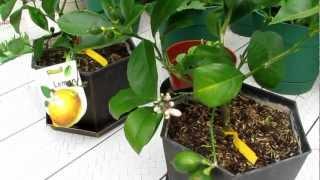 Dwarf Lemon Tree, Grafted Apple Trees, Blueberry Shrubs, Peas, Strawberrries