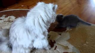 Котенок нападает на кота