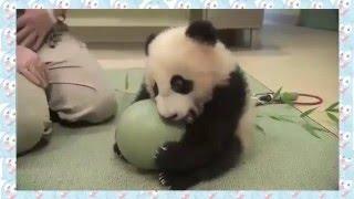 Про Животных! Очень милый детёныш панды! Веселые Животные