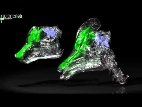 Corythosaurus (duckbill dinosaur) - nasal-passage resonating chambers with brain cast