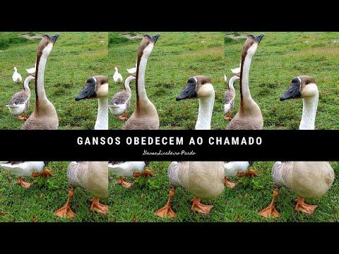 Gansos Obedecem Ao Chamado - Los Gansos Obedecen La Llamada - Geese Obey The Call - Angsa Mematuhi