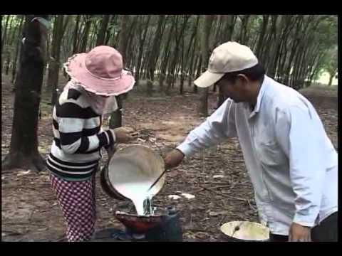 Kỹ Thuật Chăm Sóc Cây Cao Su ( Phần 1 ) - Làm Giàu Từ Cây Cao Su