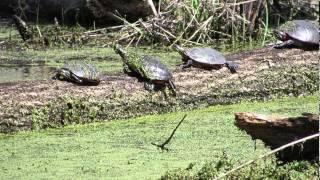 Painted Turtles - Lebanon, CT - April 22, 2013