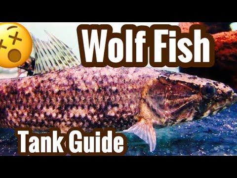 Wolf Fish Aquarium Care - Warning Live Feedings