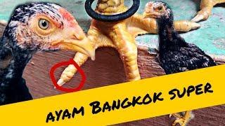 Gambar cover Ciri Ciri Anakan Ayam Bangkok Super : umur 1,5-2,5 bulan.