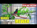Variasi Tembakan Murai Batu Full Isian Mewah Masteran Murai Batu  Mp3 - Mp4 Download