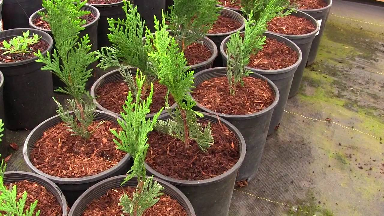 we re going to grow a privacy hedge of thuja green giant arborvitae